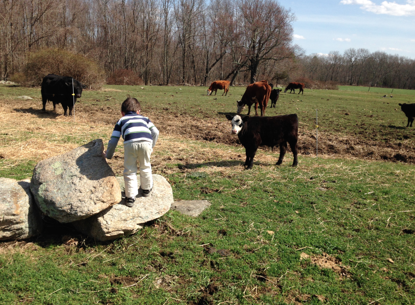 Here, we're learning more than a paper could teach--nature, animal behavior, and the fact that no matter what, this little bull doesn't trust Declan. Smart bull.